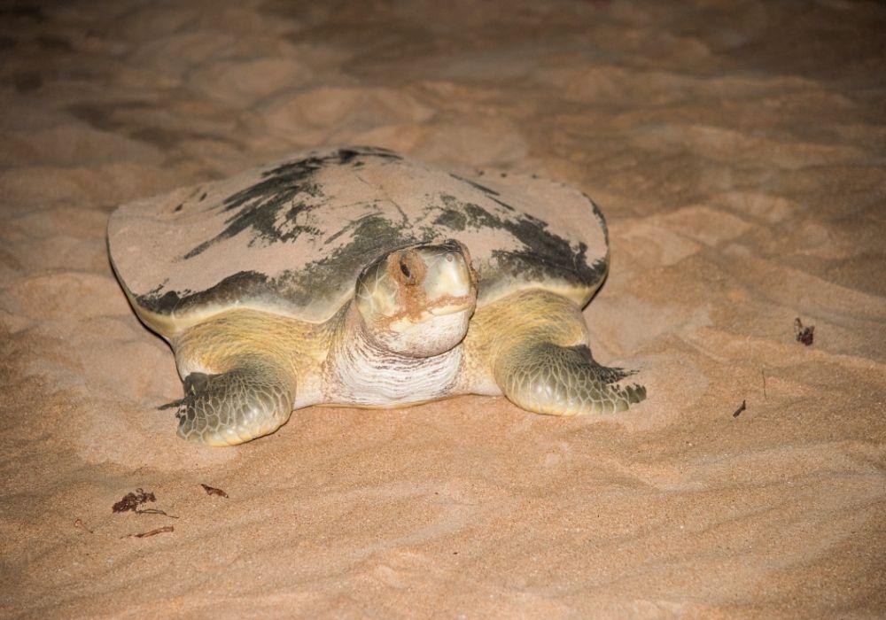 flatback-sea-turtle