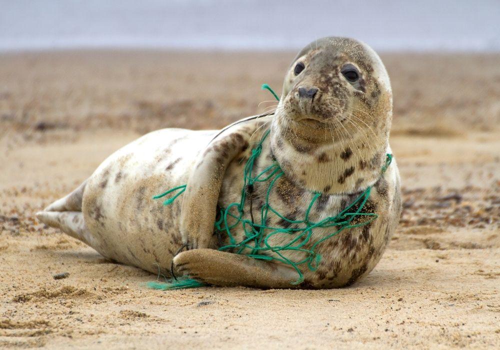 grey-seal-in-fishing-net