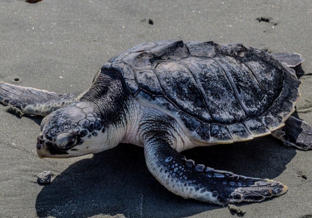 kemps-ridley-sea-turtle