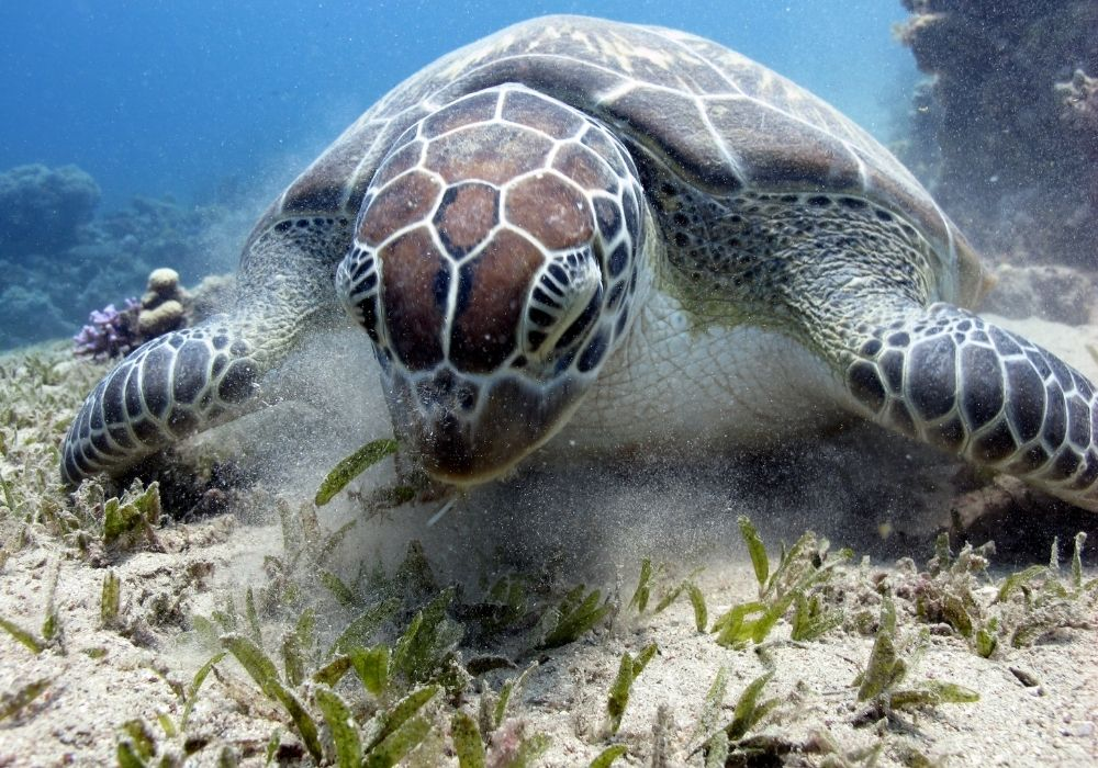 sea-turtle-eating-seagrass