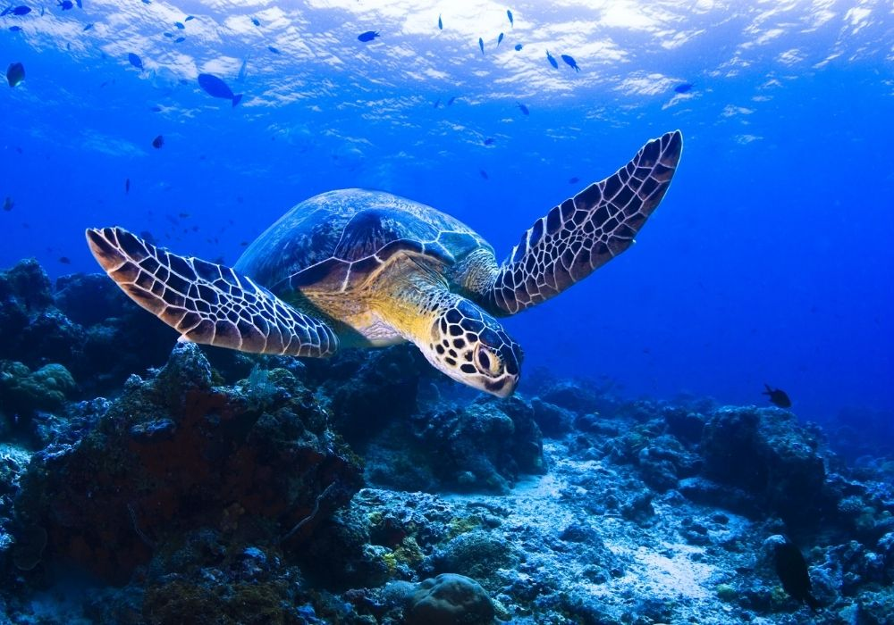 sea-turtle-swimming-over-the-coral-reef